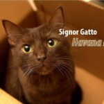 Gatto Havana Brown