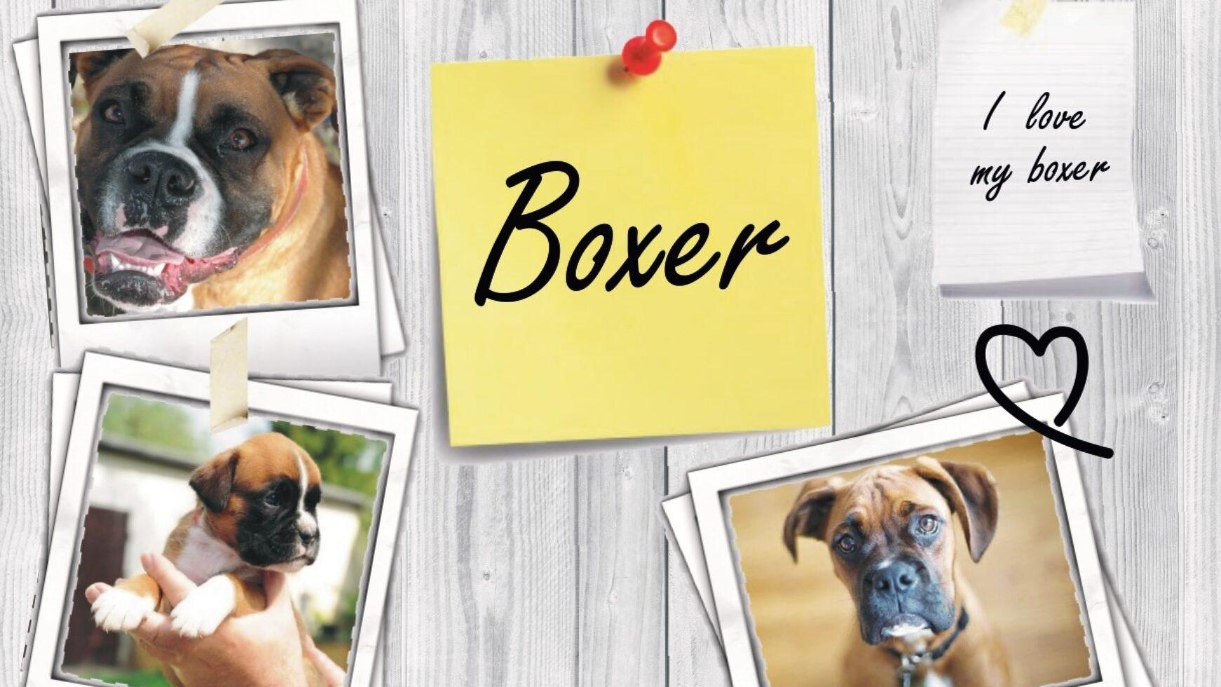 Agile, obbediente ed amorevole: IL BOXER.
